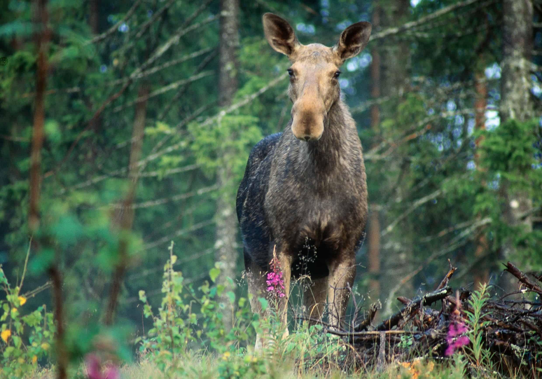 Elanden kom overal in Zweden voor behalve op Gotland. Ik hoop op een van mijn tripjes elanden te mogen ontmoeten. Foto: Håkan Vargas/Imagebank.sweden