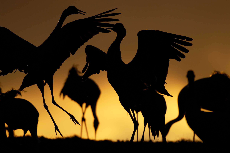 Kraanvogels in Zweden
