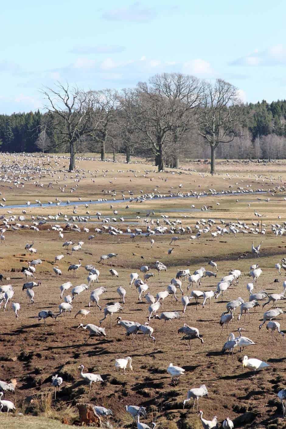 kraanvogels zweden hornborjagsjön