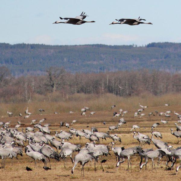 kraanvogels hornborgasjön zweden